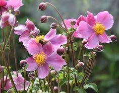 Anemone Praecox, Japanese Anemone 'Praecox', Windflower 'Praecox', Pink Anemone, Fall Anemone