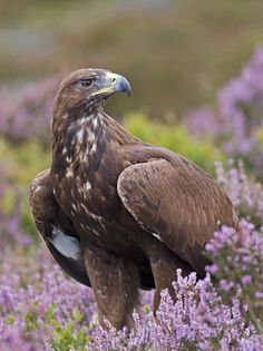 the enchanted wind — thepredatorblog: Golden eagle (by...