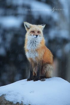 red fox in snow   animal + wildlife photography