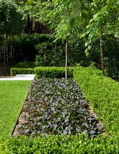 A Buxus hedge contrasted with Snow pear trees