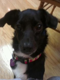 Sage was thrown away like garbage onto a highway with a gangrenous leg and left for dead. Sage is focused on raising awareness about Animal Cruelty and Neglect and strengthening laws in all states and to become a NO KILL nation. Come by my page when u haz da time! http://www.facebook.com/pages/Sage-Magnolia-Schreck-3-Legged-Wonderdog/101041156647676