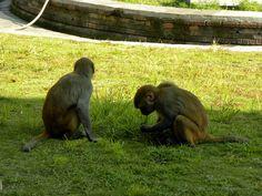 monkeys - the Shree Pashupatinath Temple area - Kathmandu, Nepal