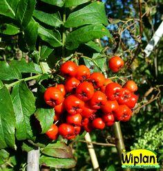 Sorbus 'Elit', Sötrönn. Flikiga stora rönnblad. Stora ätliga bär. Höjd: 4-5 m.