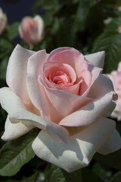 Pink rose greets the dawn sun