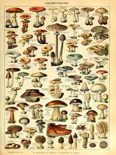 Mushroom Print, Kitchen Wall Decor, Vintage Botanical Wall Art, Champignons Antique Nature, Forest Plant