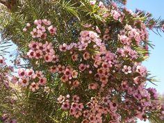 Chamaelauciums (Geraldton Wax) 'Strawberry Surprise'. A Western Australia native