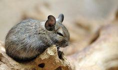 Cute chinchilla by Eric Gevaert. Chinchillas, Chinchilla Cage, Cute Wild Animals, Degu, Cute Animal Photos, Veterinary Medicine, Mammals, The Past, Wildlife