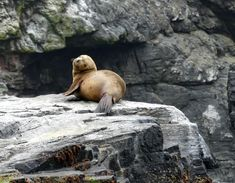GALLERY | Whale Watching Chile South American fur seal Whale Watching, Chile, Seal, Wildlife, Fur, American, Gallery, Animals, Chili Powder
