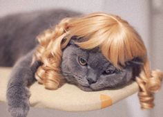 lazy wig cat