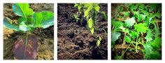 How to transplant vegetable seedlings. — May 15, 2015