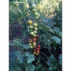 Špirálová tyč k paradajkám - pozinkovaná Fruit, The Fruit