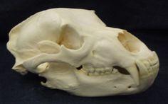 grizzly bear skull from wildifetaxidermy.com