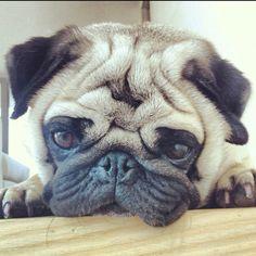 My darling boyfriend pug Miguel. Brindle Pug, Don Meme, Teacup Pug, Pug Names, Pug Photos, Pug Christmas, Pug Shirt, Baby Pugs, Black Pug
