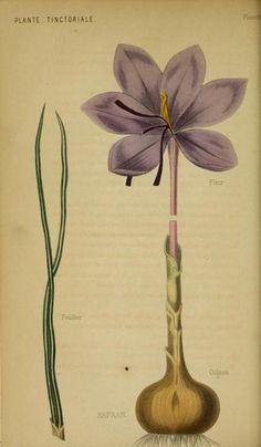 Saffron. Plate from 'Les Plantes Industrielles' (1859) by  Heuzé, Gustave, 1816-1907. https://archive.org/stream/lesplantesindust01heuz#page/n151/mode/2up