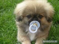 Not sure why anyone would stuff their puppy with a pacifier...but this is too cute for words!