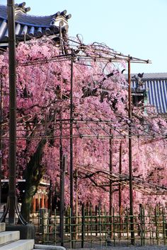 Kyoto Bukko-ji Temple weeping cherry tree