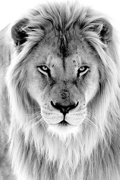 A photo of a beautiful black and white lion - A photo of a beautiful black and white . - A photo of a beautiful black and white lion – A photo of a beautiful black and white lion – - Oma Tattoos, Lion Head Tattoos, Lion Images, Lion Pictures, Lion And Lioness, Lion Of Judah, Lion King Art, Lion Art, Lion Wallpaper