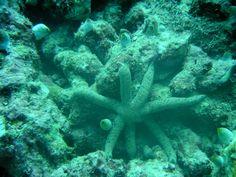 Stella Marina 7 raggi
