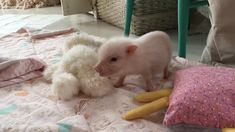Baby Pearl the Mini Pigs Quarantine Workout! Baby Pearl the Mini Pigs Quarantine Workout! Cute Baby Pigs, Baby Piglets, Cute Piglets, Baby Animals Pictures, Cute Animal Videos, Cute Animal Pictures, Cute Little Animals, Cute Funny Animals, Mini Pigs