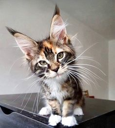 Interested in owning a Maine Coon cat and want to know more about them? The Maine Coon kitten adoption will Gatos Maine Coon, Maine Coon Kittens, Pretty Cats, Beautiful Cats, Animals Beautiful, Beautiful Creatures, Animals And Pets, Funny Animals, Cute Animals