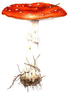 Lizzie Harper botanical illustration fly agaric
