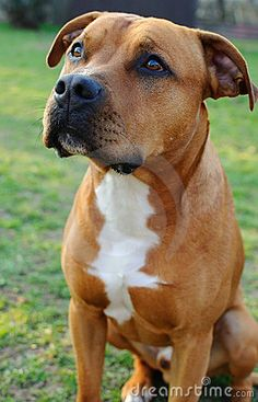Uplifting So You Want A American Pit Bull Terrier Ideas. Fabulous So You Want A American Pit Bull Terrier Ideas. Amstaff Terrier, Terrier Dog Breeds, Bull Terrier Dog, Terrier Mix, White Terrier, American Pit Bull Terrier, American Pitbull, American Staffordshire Terriers, American Bulldogs