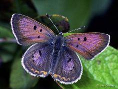 ... purple butterfly ...