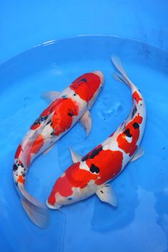japanese koi fish photography - Google Search
