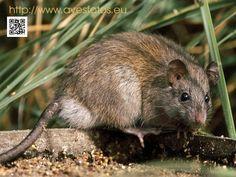 Rata campestre - Rattus rattus.  La rata campestre o negra es un animal mamífero del orden rodentia de la familia muridae perteneciente al género ratus.  #ratas #animales #mamíferos #plagas