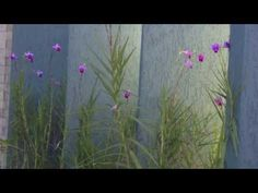 Orquídea bambú - YouTube