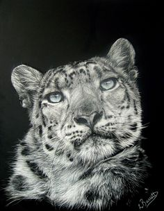 "New scratchboard art piece available at Brialyn Boathouse Gallery in Frankston Victoria Australia.  This one is titled ""Mimi"" and she is a snow leopard from the Tama Zoo in Tokyo.  Reference photo courtesy of Steve tracy"