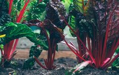 Beet juice as a dye, does it work? – healthy fast food … Beet juice as a dye, does it work? – healthy fast food near me – Borax Cleaning, Household Cleaning Tips, Cleaning Hacks, Bucket Gardening, Gardening Tips, Gardening Quotes, Botanical Gardens Near Me, Fresco, Fast Growing Vegetables
