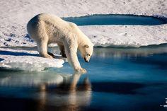 MARIO HOPPMANN. Un oso polar comprueba la delgadez de la capa de hielo ártico. https://www.lanasa.net/news/nuestro-planeta/los-osos-polares-del-artico-se-enfrentan-temporadas-mas-cortas-de-hielo-marino/