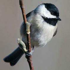 Chickadee on Pussy Willow Branch