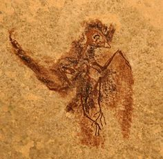 """Fossil Hummingbird Ancestor Green River Formation  Western Digs """"A petite and exquisitely preserved 50-million-year old fossil reveals the remains of a lustrous black bird that was the precursor to today's hummingbirds, researchers say...originally excavated from Wyoming's Green River Formation, is a new species to science, dubbed Eocypselus rowei. And though just 12 centimeters long, it was so well preserved that the impressions of its wing feathers could be studied in fine detail"""