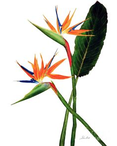 Best Ideas For Tattoo Watercolor Bird Behance Exotic Flowers, Tropical Flowers, Botanical Art, Botanical Illustration, Botanical Posters, Watercolor Bird, Watercolor Paintings, Tattoo Watercolor, Flower Prints