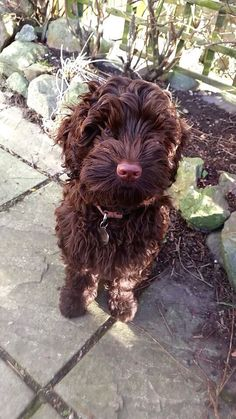 Our chocolate Labradoodle at 4 months