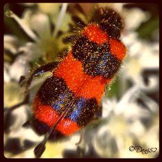 """Macro bug """"Carabiniere"""" Foto Daniela Libralon  Campolasalza-Massello"""