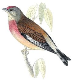 Rev Morris hand coloured bird print 1852 from Land of Nod's collection