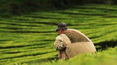 Perché è stata istituita una giornata internazionale del tè? Qual è il suo obiettivo? Scopriamo la storia di questa festa e la nuova data: 21 maggio #InternationalTeaDay Tea Blog, Party
