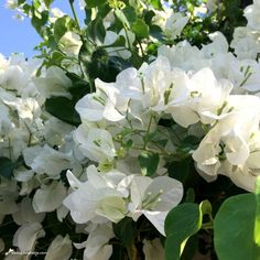 Y de repente el blanco. Bougainvillea glabra 'Snow White' | El Blog de La Tabla