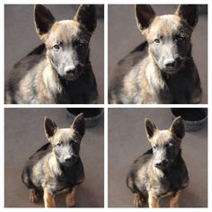 Executive Protection, Working Dogs, Dog Training, Kangaroo, Puppies, Animals, Baby Bjorn, Cubs, Animales