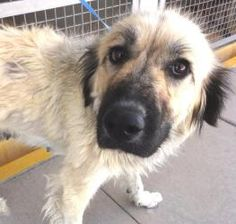 B.B. is an adoptable Great Pyrenees Dog in El Paso, TX. She may have a big body, but inside, she's just a little puppy, and right now, she looks kind of lost without her people...  B.B. was left at th...