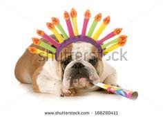 birthday dog - english bulldog wearing birthday hat blowing on horn isolated on white background - stock photo