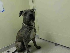 Staten Island Center    PEANUTBUTTER - A0998821    MALE, BR BRINDLE / BLACK, MASTIFF MIX, 4 yrs  STRAY - EVALUATE, NO HOLD Reason STRAY  Intake condition NONE Intake Date 05/05/2014, From NY 10301, DueOut Date 05/08/2014,   https://www.facebook.com/photo.php?fbid=798849976794550&set=a.617941078218775.1073741869.152876678058553&type=3&theater