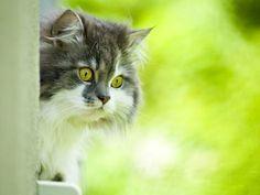 Gibt's was Neues? Norwegische Waldkatze beim Freigang — Bild: Shutterstock / Pietus    www.einfachtierisch.de