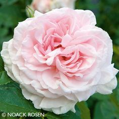 Pflanzen-Kölle Kletterrose 'Graciosa®'.  Kletterkünstler mit pastellrosa bis weißen Blüten, die nostalgisch gefüllt sind und herrlich duften.Im Onlineshop findest Du über 100 weitere Rosensorten aus unserer eigenen Gärtnerei – lass Dich verzaubern von Farbe, Blütenfülle und Duft unserer Rosen. Und das Beste: Die gut durchwurzelte, geschnittene Pflanzware kommt sicher verpackt innerhalb weniger Tage bei Dir zu Hause an. So wird Dein persönlicher Rosentraum wahr!
