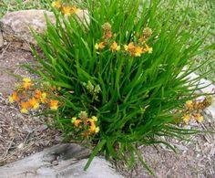 Bulbine Caulescens - Plantas Florales