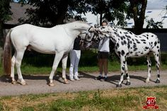 Knabstrupper (Sport type) stallions Toftegaardens Codex and Hannibal Middelsom