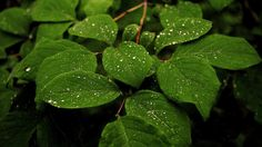 Water Drops on Leaves Nature Wallpaper